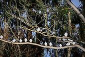 Rock Pigeon Pictures - Photos