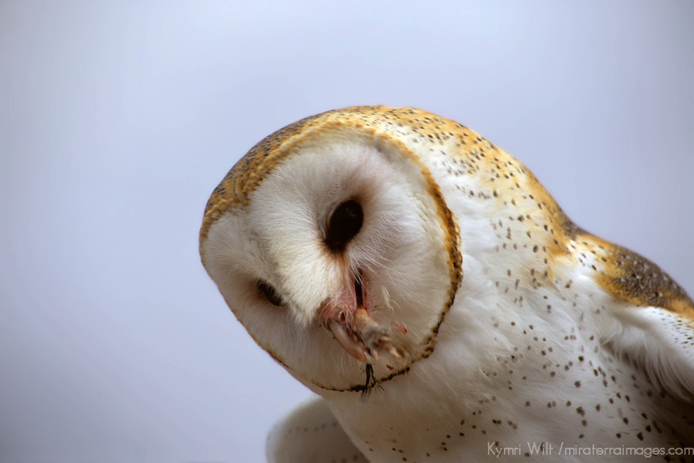 North America, Americas, USA, United States, Arizona. Common Barn Owl at the Arizona-Sonora Desert Museum.