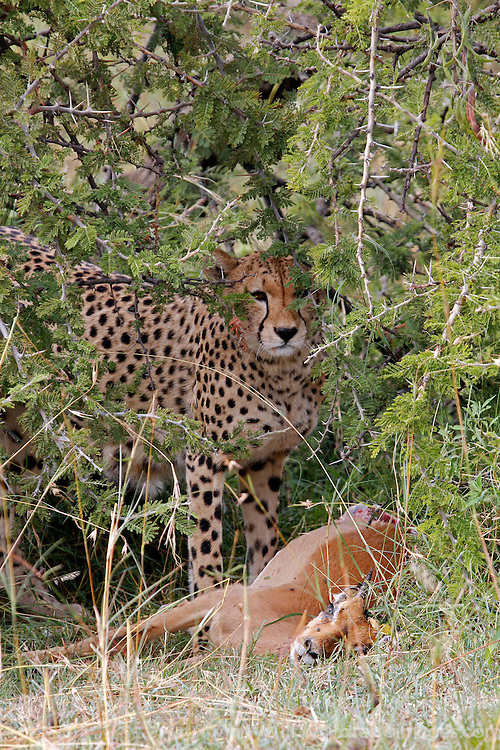 Africa, Kenya, Masai Mara. A mother cheetah and her cubs feed on an impala kill.