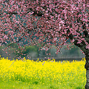 SHOT 3/1/2007-3/6/2007 - A cherry tree in full blossom stands in sharp contrast  to the mustard plants also in full bloom in the Dry Creek Valley in Sonoma County, Ca. In spring the entire region springs back to life and is ablaze with brilliant colors..(Photo by Marc Piscotty © 2007)