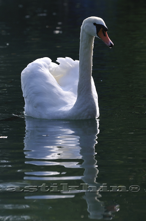 Swan and his (her) reflection