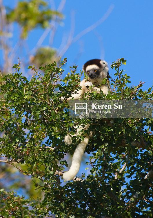 Coquerel's Sifaka (Propithecus coquereli), Berenty National Park, Madagascar dance