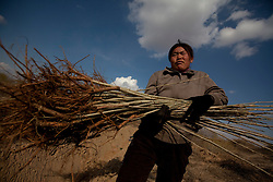Mongolian ethnic minority farmer Mrs Gao carries poplar tree saplings for planting in the Taminchagan desert in Kunlun Qi in the Inner Mongolia Autonomous Region of China on 23 April 2011. The farmer and her family has been planting trees around their land, buying saplings on their own, in an effort to protect their crops from the encroaching sands of the desert. Inner Mongolia, China's third largest province, is fighting severe desertification, much like the provinces of Xinjiang, Gansu, Qinghai, Ningxia, Shaanxi, Heilongjiang and Hebei. Over-grazing, logging, expanding farms and population pressure, along with droughts have steadily turned once fertile grasslands into sandy plains. China has adopted measures to stop the land degradation such as reforestation, resettling nomadic Mongolians from grasslands to urban areas and restricting grazing areas. Tree planting has become a key government effort to combat desertification and supporting the government's reforestation endeavors are numerous non-governmental organizations (NGOs), such as Shanghai Roots & Shoots. The NGO launched the Million Tree Project in 2007 in Kulun Qi with aims to plant its first million trees by 2014 to hinder the expanding desert. To-date, they have planted more than 600,000 trees.