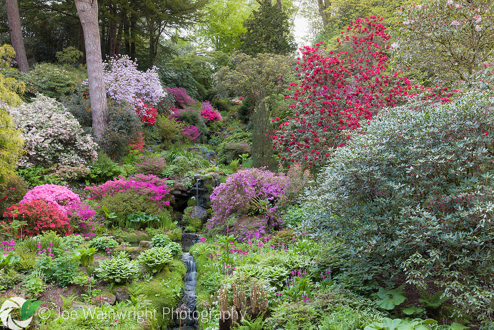 Azaleas and rhododendrons bring colour to a hillside in The Dell at Bodnant Garden, North Wales, photographed in May