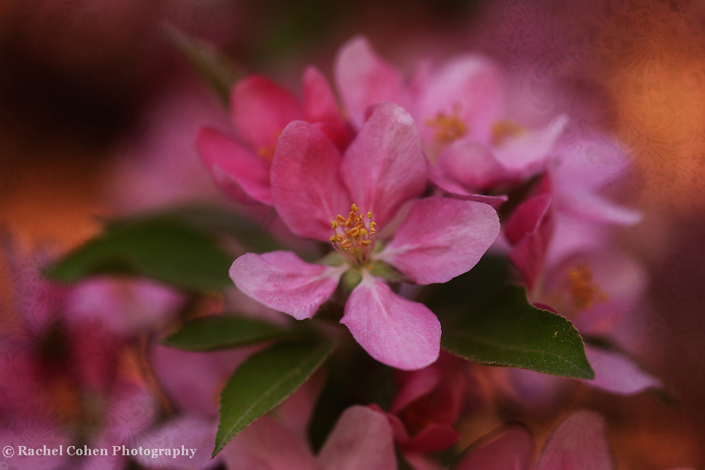 &quot;Blossoms and Brocade&quot; <br /> <br /> Beautiful deep pink crab-apple blossoms in glowing warm light with a brocade overlay!