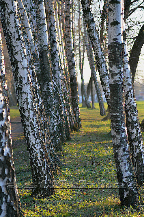 A path in a forest lined with birch trees in autumn