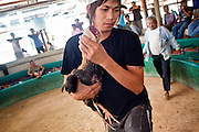 10 APRIL 2010 - PLA PAK, NAKHON PHANOM, THAILAND: A man carries his fighting cock from the pit after it lost its fight in rural northeastern Thailand. Cockfighting is enormously popular in rural Thailand. A big fight can bring the ring operator as much as 200,000 Thai Baht (about $6,000 US), a large sum of money in rural Thailand. Fighting cocks live for about 10 years and only fight for 2nd and 3rd years of their lives. Most have only four fights per year. Fighting cocks in Thailand do not wear the spurs or razor blades that they do in some countries and most times the winner is based on which rooster stops fighting or tires first rather than which is the most severely injured. Although gambling is illegal in Thailand, many times fight promoters are able to get an exemption to the gambling laws and a lot of money is wagered on the fights. Many small rural communities have at least one cockfighting arena.   PHOTO BY JACK KURTZ
