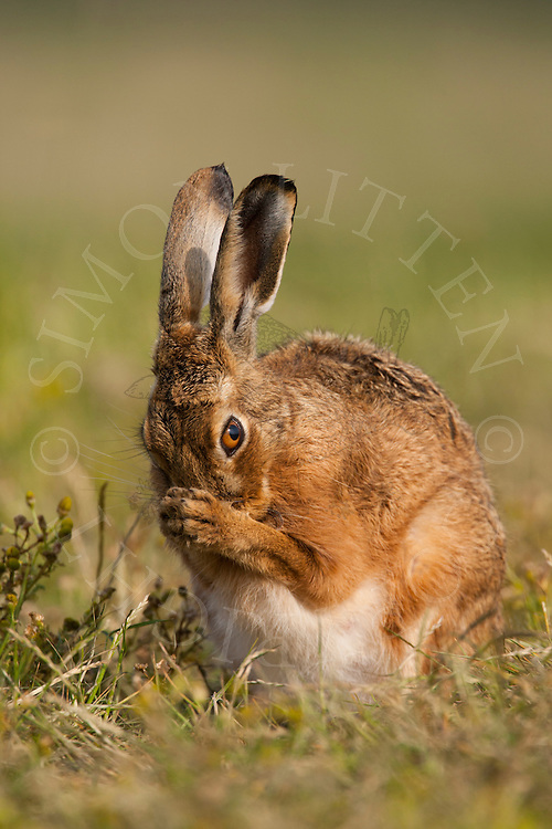 European Hare (Lepus europaeus) adult female, pregnant, cleaning itself on grass track, farland, Norfolk, UK.