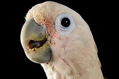 Cockatoo | Kakadu