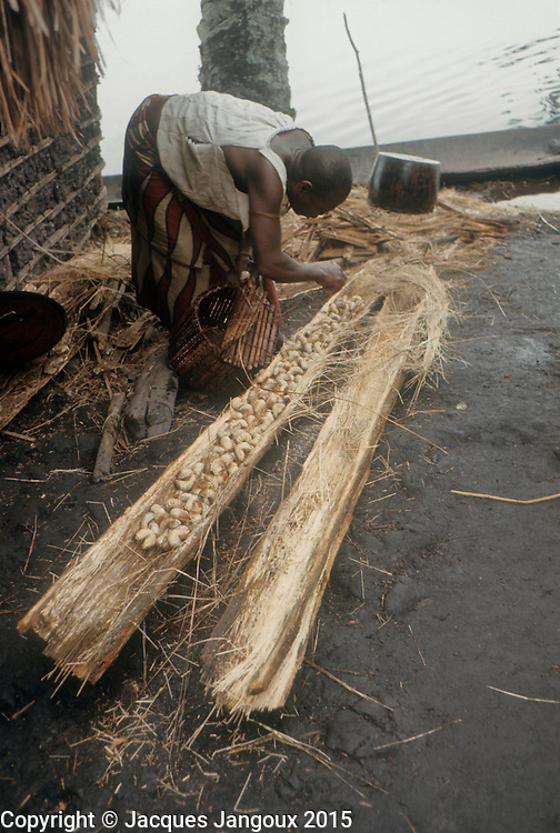 Africa, Democratic Republic of the Congo, Ngiri River area, Libinza tribe. Woman with grubs in dead palm trunk.