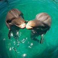 Bottlenose dolphin (c) (Tursiops truncatus)&amp;#xA;Ocean World Interactive Marine Park, Puerto Plata, Dominican Republic, Caribbean Sea<br />