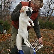 Arctic fox revival