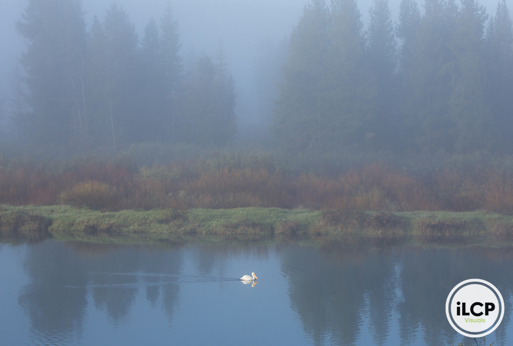 A white pelican in morning fog on the Snake River at Oxbow Bend in Grand Teton.