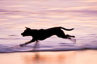 A panning photo of a dog running in the surf at sunrise.