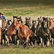 horses being herded by cowboy