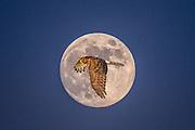 Northern harrier, Circus cyaneus, female, in flight on the Katy Prairie, in west Harris County, Texas.