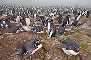 Rockhopper penguin colony, Eudyptes chrysocome, Saunders Island, Falkland Islands