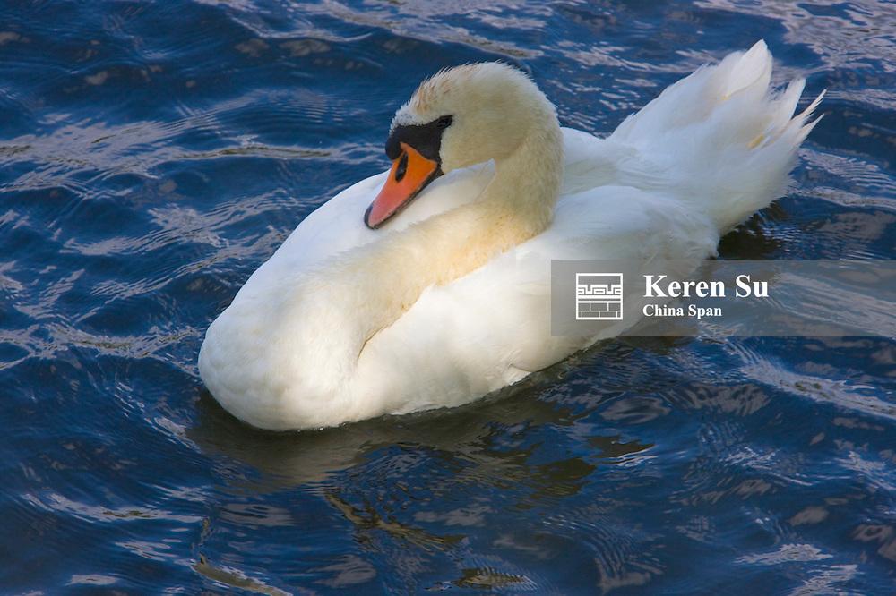 Swan, Stockholm, Sweden