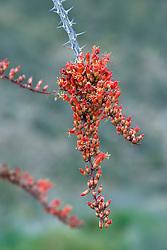 Ocotillo (Fouquieria splendens) blooming in the Anza-Borrego Desert State Park, California, USA