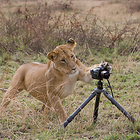 Africa, Kenya, Masai Mara Game Reserve, Adult Lioness (Panthera leo) appears to be taking snapshot while swatting at remote control camera