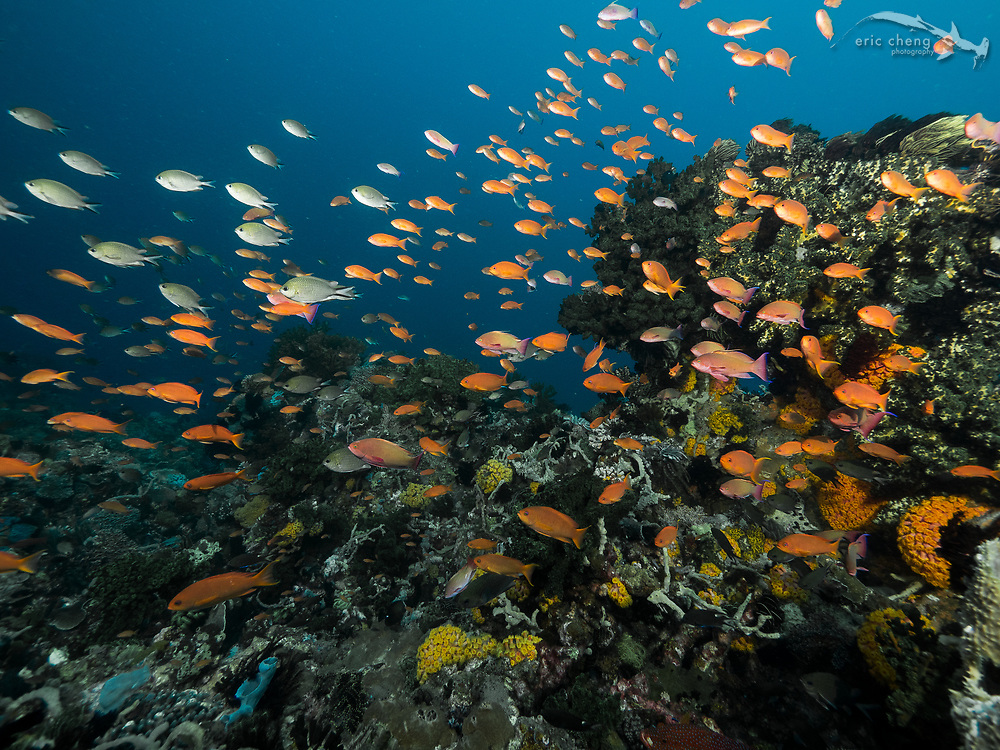 A colorful school of scalefin anthias (Pseudanthias squamipinnis). Cannibal Rock, Horseshoe Bay, Komodo National Park, Indonesia.