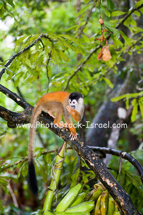 Squirrel monkey (Saimiri sciureus) picking fruit in a tree. This monkey is native to tropical South and Central America. It is exclusively arboreal, and very rarely descends to the ground. Its diet consists of fruits and berries, as well as small insects, frogs and birds' eggs. It is a very small monkey, reaching a length of only 30 centimetres. Photographed in Panama.