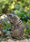 Large iguana looking backward on top of concrete wall.