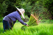 Siri, a 65 year old Thai woman farmer, works in her leased fields preparing rice plants to be transplanted into a larger field, in Nakhon Nayok Thailand Aug 14, 2016. PHOTO BY LEE CRAKER