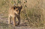 Juvenile African lion, Botswana