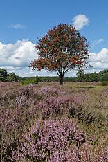 Blaricum, Blaricummerheide GNR, Noord Holland, Netherlands