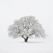 A snow-covered oak tree photographed in high-key against a white background.