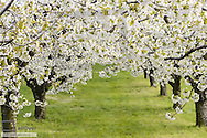 Austria, Burgenlan, Jois, Cherry trees in blossom