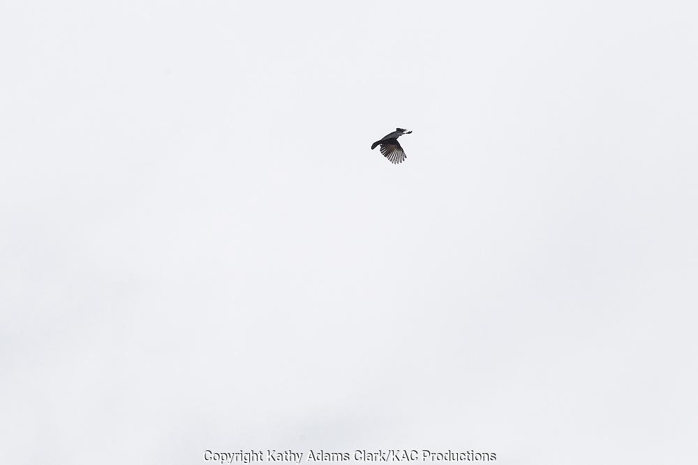 Amazonian Umbrellabird; Cephalopterus ornaus; Inkaterra Amazonia; Madre de Dios River; Peru; Reserva Ecologica Inkaterra