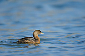 Misc. Grebes