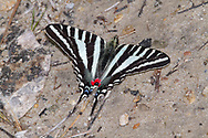 Zebra Swallowtail Butterfly (Eurytides marcellus)<br /> TEXAS: Jasper Co.<br /> Boykin Springs Lake at Boykin Springs Recreation Area<br /> Angelina National Forest; NW of Jasper<br /> 24.Mar.2010<br /> J.C. Abbott