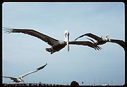 02: SEABIRD RESCUE PELICANS FLYING