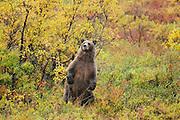 Alaskan Brown Bear  in Denali National Park