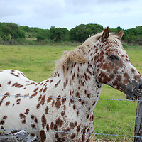 Hawaii, South Point.  View of spotted pony