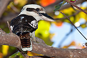The bird that Australians probable best relate to is the Laughing Kookaburra; perhaps because of its laughter-like call it seems to have an excellent sense of humor.  What many people do not know is that kookaburras are actually the largest members of the kingfisher family!