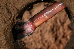 European Mole (Talpa europaea) has caught a worm in its subterranean burrows. | In seinem unterirdischen Gang hat ein Maulwurf (Talpa europaea) einen Regenwurm erbeutet. |