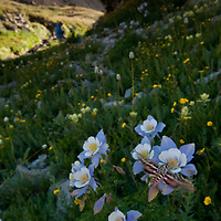A summer bunch of Colorado Columbine along Clear Creek