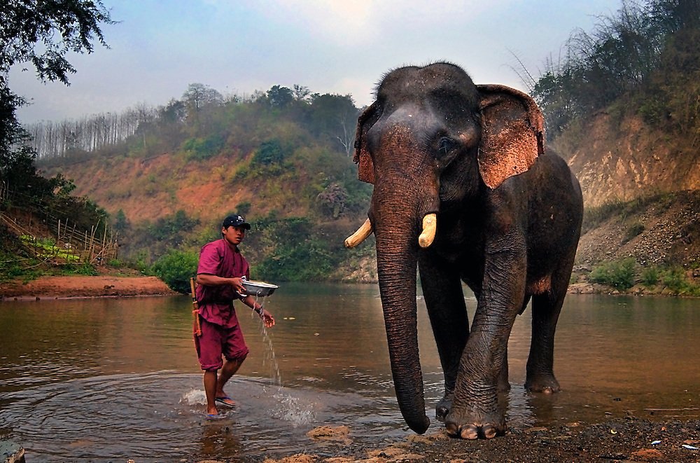 An Asian elephant having it's morning bath at Pak Lai, Laos.