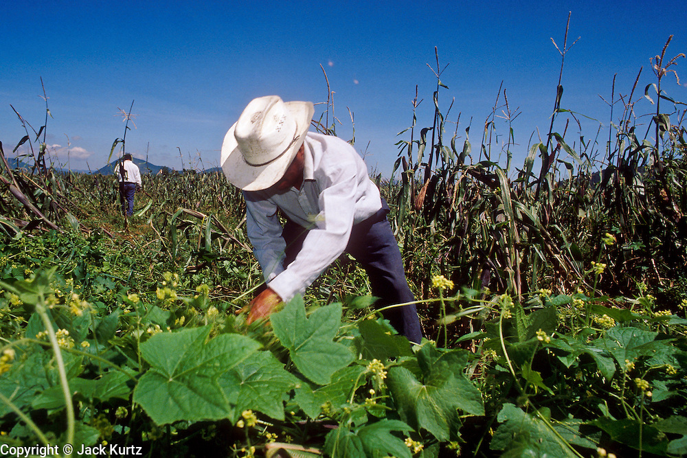 TOLUCA, MEXICO, MEXICO: Farmers on an ejido (communal farm) near the city Toluca, state of Mexico, Mexico, weeds a corn field. Ejidos are traditional communal farms established after the Mexican revolution of 1911. They are being threatened by mechanized farms and the consolidation of Mexican farms.  PHOTO © JACK KURTZ   AGRICULTURE  FAMILY  LABOUR  FOOD