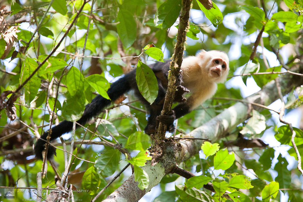 A young White-headed Capuchin Monkey (Cebus capucinus) looks down from a low hanging branch in the rainforest of Corcovado National Park, Costa Rica