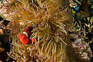 Spine-cheek Anemonefish, Premnas biaculeatus, Bali Indonesia