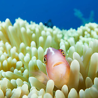 A Pink Anemonefish, Amphiprion perideraion, in an anemone, Tulamben, Bali, Indonesia.