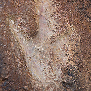 The track of an Allosaurus is left pressed into the sandstone near Potash, Utah. Scientists believe the dinosaur had an average length of nearly 30 feet. At the time dinosaurs roamed Utah, the area was marshy. Over time the mud that held their footprints turned to sandstone.