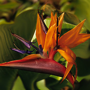 Bird of Paradise blooms on Kauai, Hawaii, the Garden Isle, a tropical paradise.