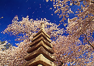 Cherry Blossoms and Japanese Pagoda (ca. 1600) beside the Tidal Basin, West Potomac Park, Washington D.C., District of Columbia