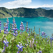 "Lupine flowers bloom above beautiful Lake Quilotoa, Ecuador, South America. Quilotoa, a tourist site of growing popularity, is a scenic water-filled caldera that is the westernmost volcano in the Ecuadorian Andes. The 3 kilometers (2 mile) wide caldera (diameter about 9km) was formed by the collapse of this dacite volcano following a catastrophic VEI-6 eruption about 800 years ago, which produced pyroclastic flows and lahars that reached the Pacific Ocean, and spread an airborne deposit of volcanic ash throughout the northern Andes. The caldera has since accumulated a 250 meter (820 foot) deep crater lake, which has a greenish color from dissolved minerals. Fumaroles are found on the lake floor and hot springs occur on the eastern flank of the volcano. The route to the ""summit"" (the small town of Quilotoa) is generally traveled by hired truck or bus from the town of Zumbahua 17 km to the South.  Lupinus is a genus in the pea family (also called the legume, bean, or pulse family, Latin name Fabaceae or Leguminosae). Published in ""Light Travel: Photography on the Go"" book by Tom Dempsey 2009, 2010. Panorama stitched from 3 overlapping images."